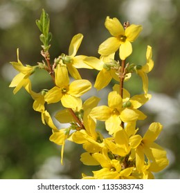 A surefire sign in spring of the coming hot seaseon, a Forsythia in full bloom.