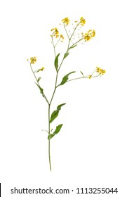 Surepka is a plant with yellow flowers in cooking and folk medicine.