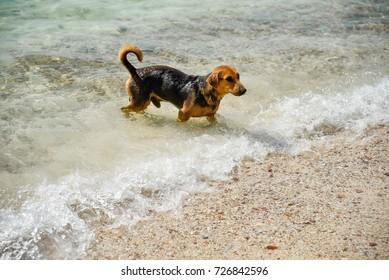 surf dog in koh larn
