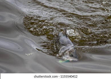 surface action of barramundi when it is hooked by a angler in the fishing tournament