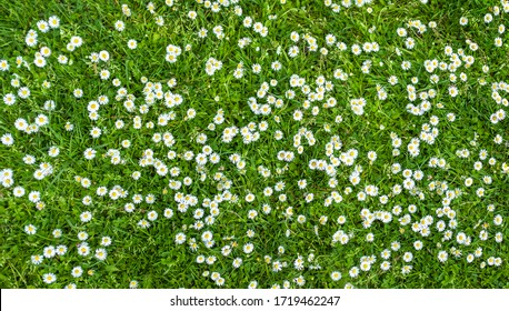 surface of green grass with daisies seen from above