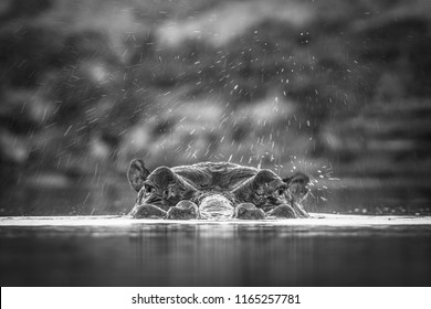 A surface level, monochrome, close up photograph of a hippo, Hippopotamus amphibius, spraying water on the water's surface at Djuma Private Game Reserve, South Africa.