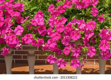 Surfinia (petunia colgante) flores creciendo en un balcón en un día soleado