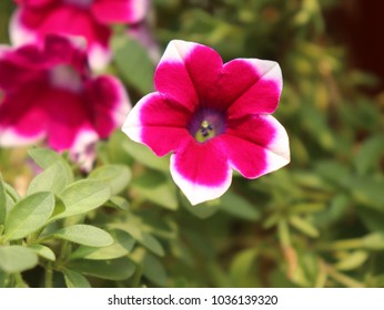 Surfinia red flower