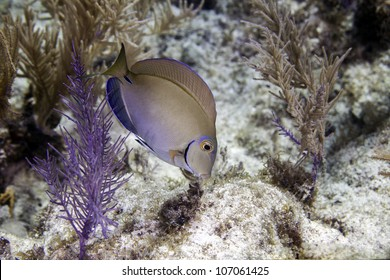 A surgeon fish foraging for food on an Atlantic coral reef in Key Largo, Florida inside the John Pennekamp State Park.