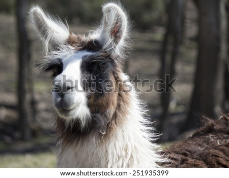 Suri Alpaca portrait - Image shot in Bayou Wildlife Park