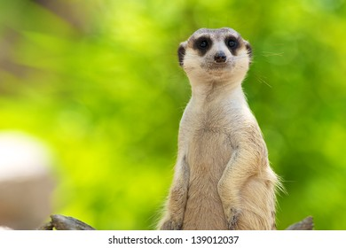 Suricate or meerkat against Natural background.at Khao Kheow Open Zoo in Thailand.