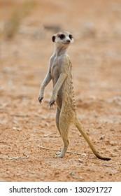Suricate or meerkat standing in Kalahari desert; Suricata suricatta