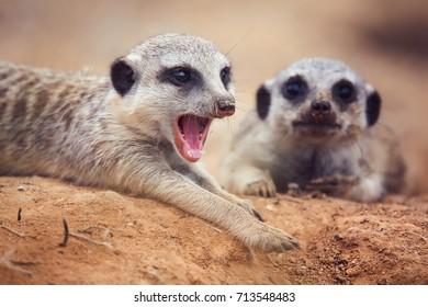 Suricate or meerkat (Suricata suricatta) cute small suricate watch guard