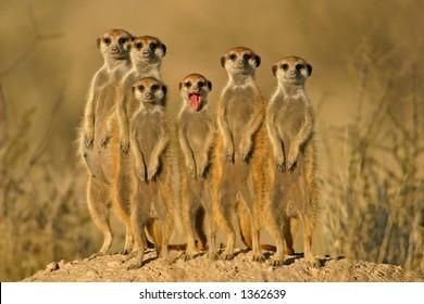 Suricate or meerkat (Suricata suricatta) family, Kalahari, South Africa