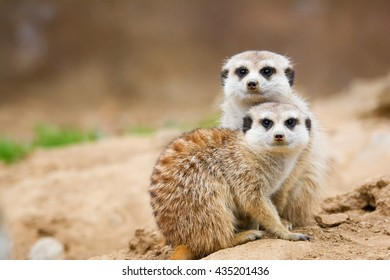 Suricate or meerkat (Suricata suricatta) Family photos of the cute creature