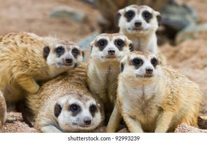 Suricate or meerkat (Suricata suricatta) family Earth males looking for enemies