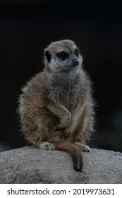 Suricate or meerkat (Suricata suricatta) on a rock in Burgers Zoo in the Netherlands. African small animal, carnivore belonging to the mongoose family