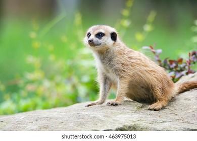 Suricate or meerkat (Suricata suricatta) It is on guard and looks around and patrolling the neighborhood
