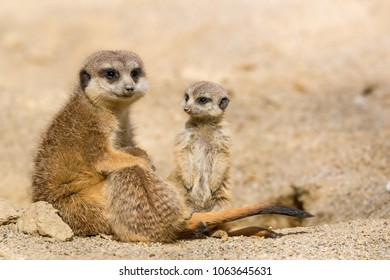 Suricate mother with her little baby cubs playing
