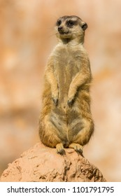 Suricate observing for danger