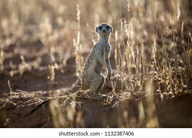 A suricate standing between tall grass, on the lookout with the sun illuminating the grass from behind.