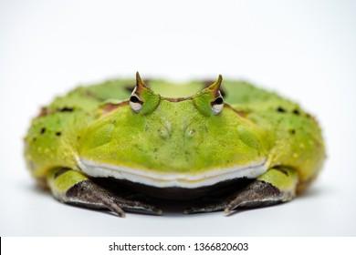 Surinam horned frog on white background.