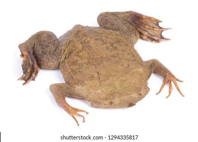 Surinam toad (Pipa pipa)