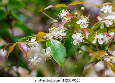 Suriname cherry (Eugenia uniflora) white flowers - Long Key Natural Area, Davie, Florida, USA