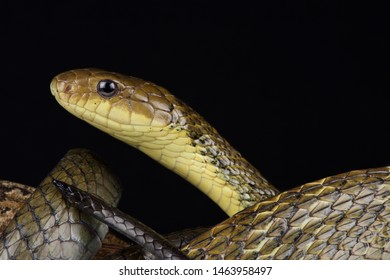 Suriname Puffing Snake (Pseustes sulphureus dieperinkii)