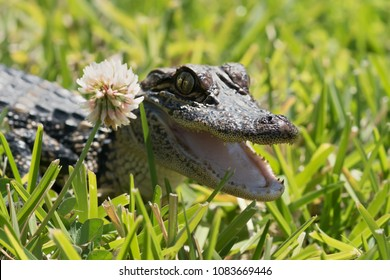 Surprise the guest - an American alligator on the lawn peeking open the mouth because of a white clover flower. Texas, United States