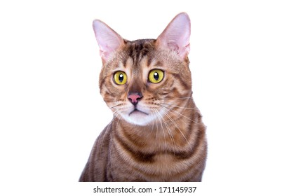 Surprised bengal cat is isolated on a white background.