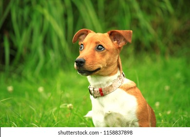 Surprised breed dog Jack Russell Terrier
