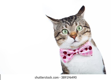 Surprised Cat looking up  with a ribbon,bow sitting and looking up isolated on blue background.