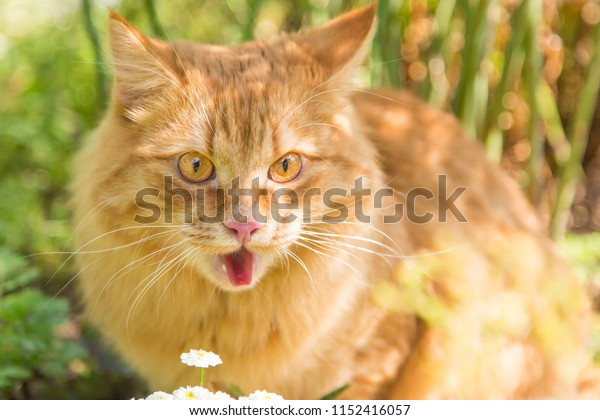 Surprised cat portrait showing tongue, funny expression