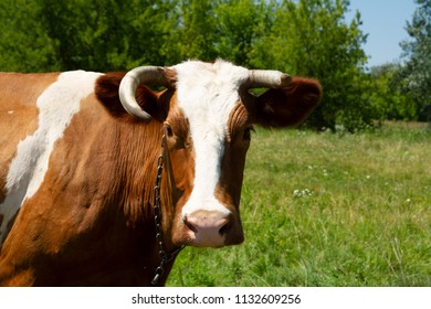 A surprised cow with different horns on the chain. Heifer on the meadow. Private cattle breeding in Ukraine. Household subsidiary farming. A cow is grazing in a clearing.