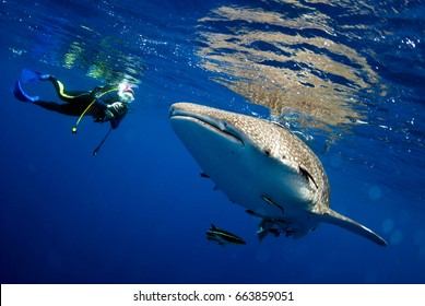 Surprised divers with whale sharks.