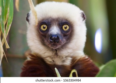 Surprised face of Lemur brown and withe. Photo taken in Lemur Park near Antananarivo, Madagascar