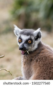 Surprised face. Shocked wide-eyed lemur with open mouth. Funny animal meme image. Ring-tailed lemur having an OMG or jaw-dropping lust moment with wide eyes and tongue hanging out.