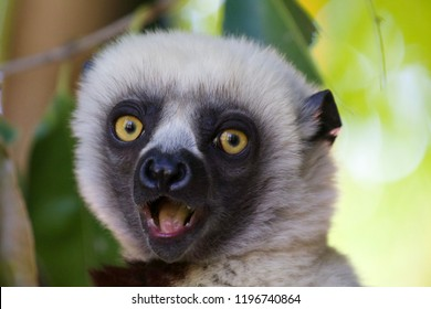 Surprised face of white headed lemur. Photo taken in Lemur park near Antananarivo, Madagascar.