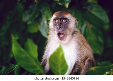 Surprised funny monkey with opened mouth. Close up portrait on the green natural background. Thailand.