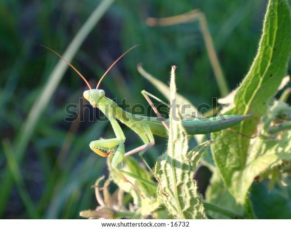 surprised green praying mantis going through grass