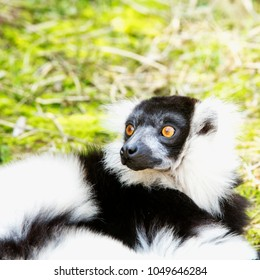 Surprised lemur on the lawn, square image