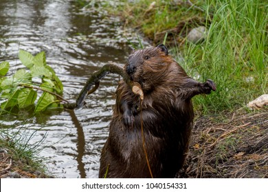 Surprised north american beaver carrying a branch to build its dam