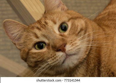 surprised orange tabby cat looking up - close up eyes wide kitten with whiskers