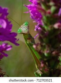 Surprised Praying Mantis