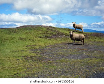 Surprised sheep high up in the Andean Mountains in Colombia