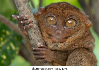 Surprised tarsier holding a branch with its hands