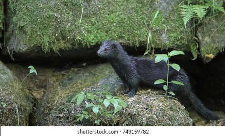 A surprising meeting. A truly wild American mink in the Czech nature, a creek near the river Metuje, spring 2017. American mink, Neovison vison, Mustela vison.