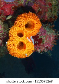 The surprising underwater world of the Bali basin, Island Bali, Pemuteran, sea sponge