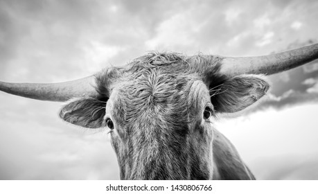 Surreal close up of a texas longhorn calf with cloudy sky.