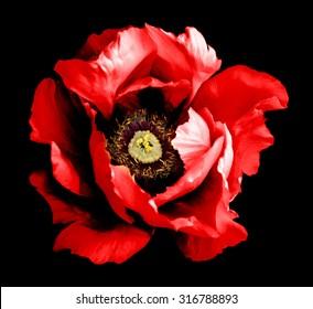 Surreal dark chrome red peony flower macro isolated on black