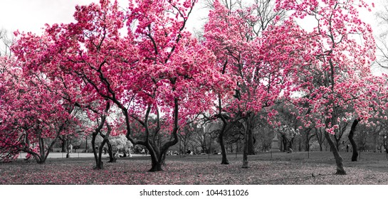 Surreal forest fantasy landscape with pink trees in a black and white cityscape in Central Park, New York City