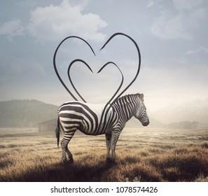 A surreal image of a zebra and its stripes making a heart shape.