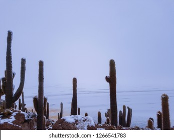 A surreal landscape observed on Incahuasi Island in the salar of Uyuni, composed of snowy cacti (plural of cactus) in the foreground and the infinite horizon of the Salar at the background.
